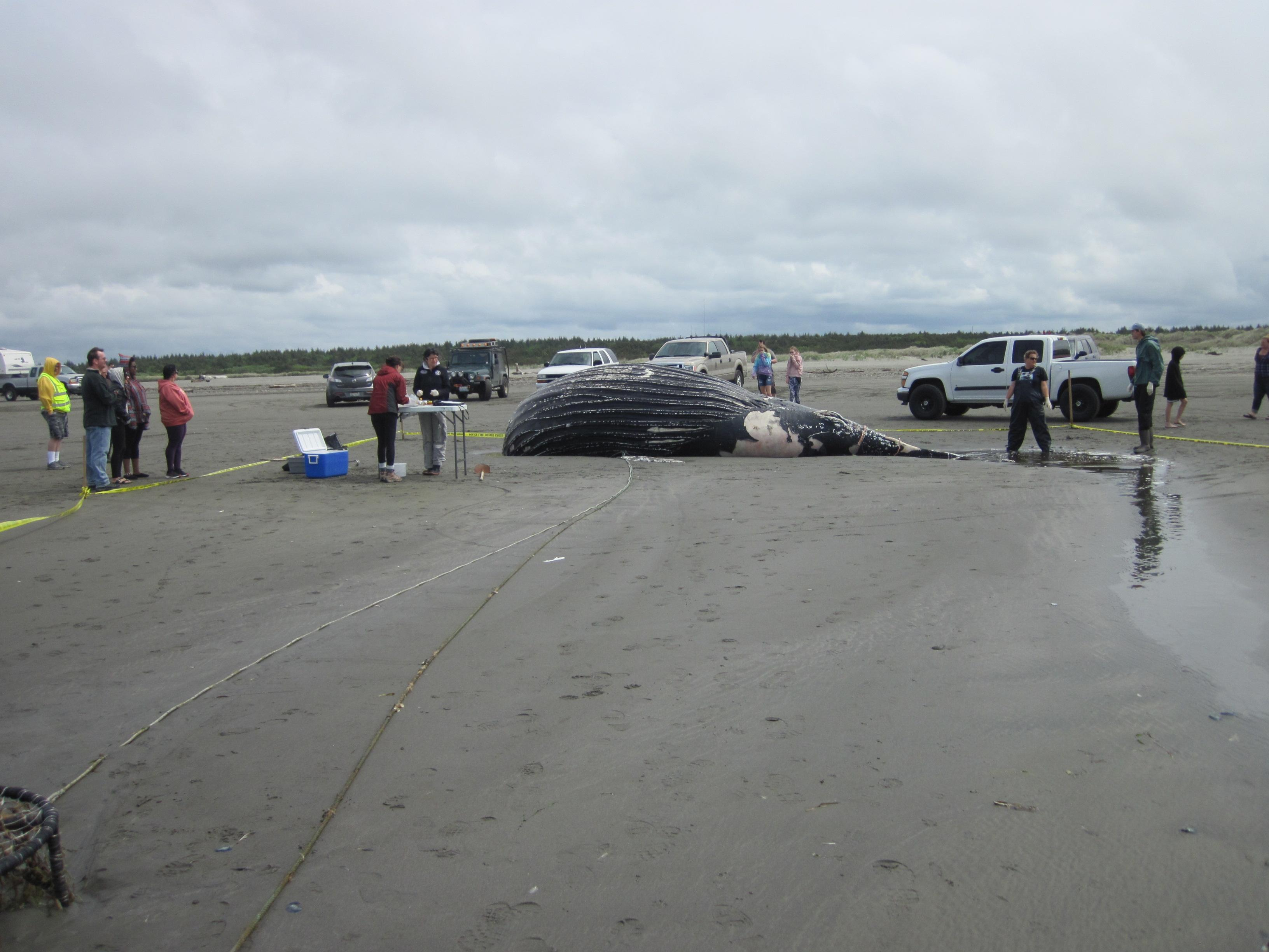 A{ } dead humpback whale washed ashore at Ocean Shores, Wash., on Sunday, May 20, 2018. (Photo: Cascadia Research)