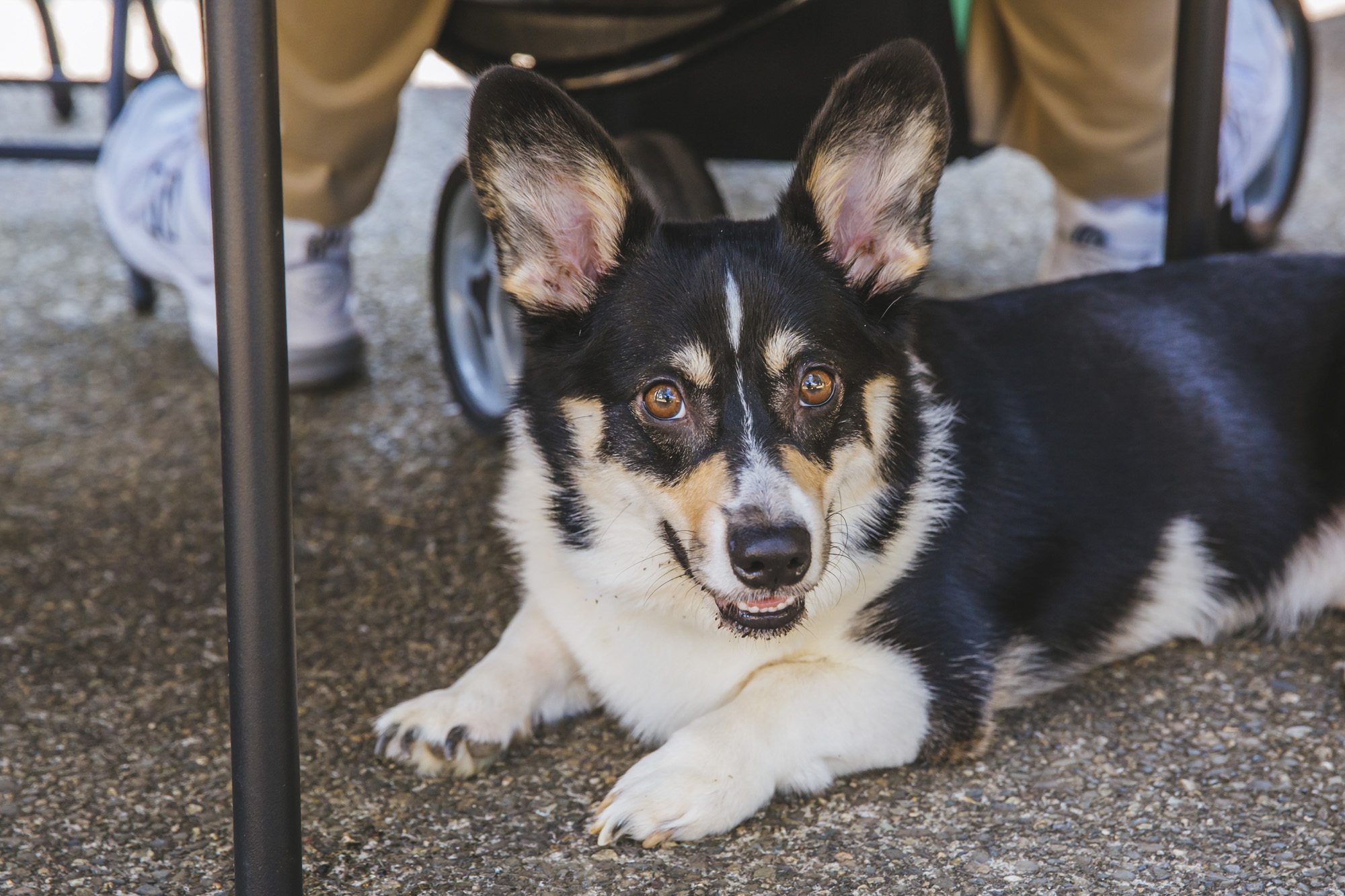 Over 150 owners and their corgis came out to the 2018 Pacific Northwest Corgi Picnic in Woodinville, WA. Kathy and Leo Notenboom host the annual event at their home, which raises money for CorgiAid, a not-for-profit corgi assistance organization. The corgi picnic has become a ticketed event to limit attendance because it has become so popular and to be a safe environment for everyone. (Image: Sunita Martini / Seattle Refined)