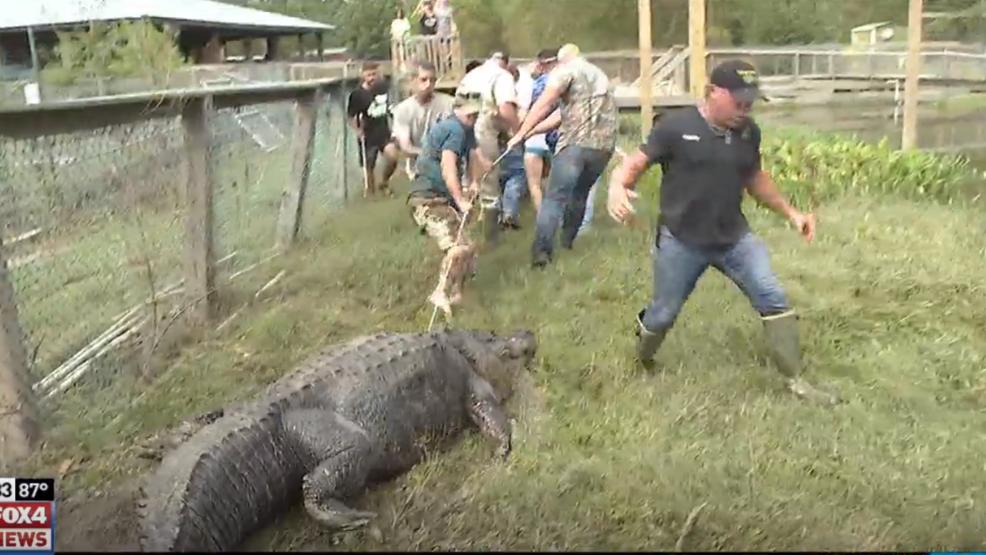 Resultado de imagem para big tex alligator