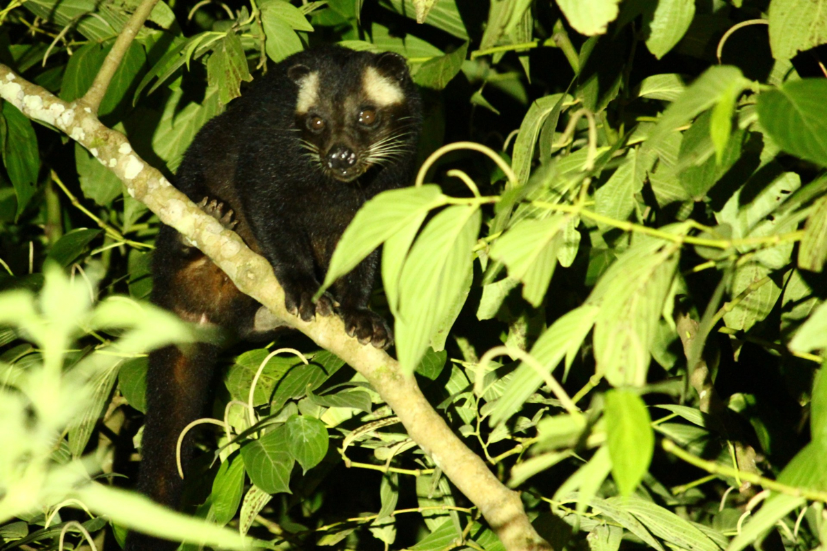 A Masked Palm Civet (Paguma larvata), seen during a night drive on Kerinci's Bukit Tapan road. There are at least three species of civets within the National Park. -- Wild Sumatra, an ecotourism company located on the Indonesian island of Sumatra, specializes in adventures within the massive Kerinci Seblat National Park. [Image courtesy of Wild Sumatra]