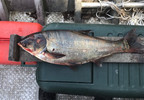 This June 22, 2017 photo provided by the Illinois Department of Natural Resources shows a silver carp that was caught in the Illinois Waterway below T.J. O'Brien Lock and Dam, approximately nine miles away from Lake Michigan.