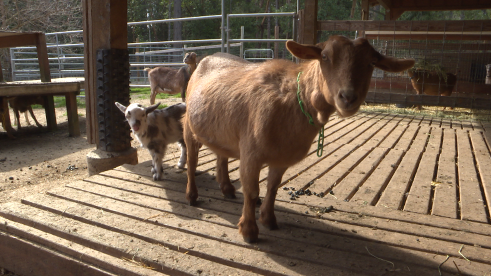 Goats draw special interest as fire season approaches | KTVL