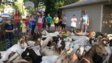 Dozens of goats found roaming Boise neighborhood