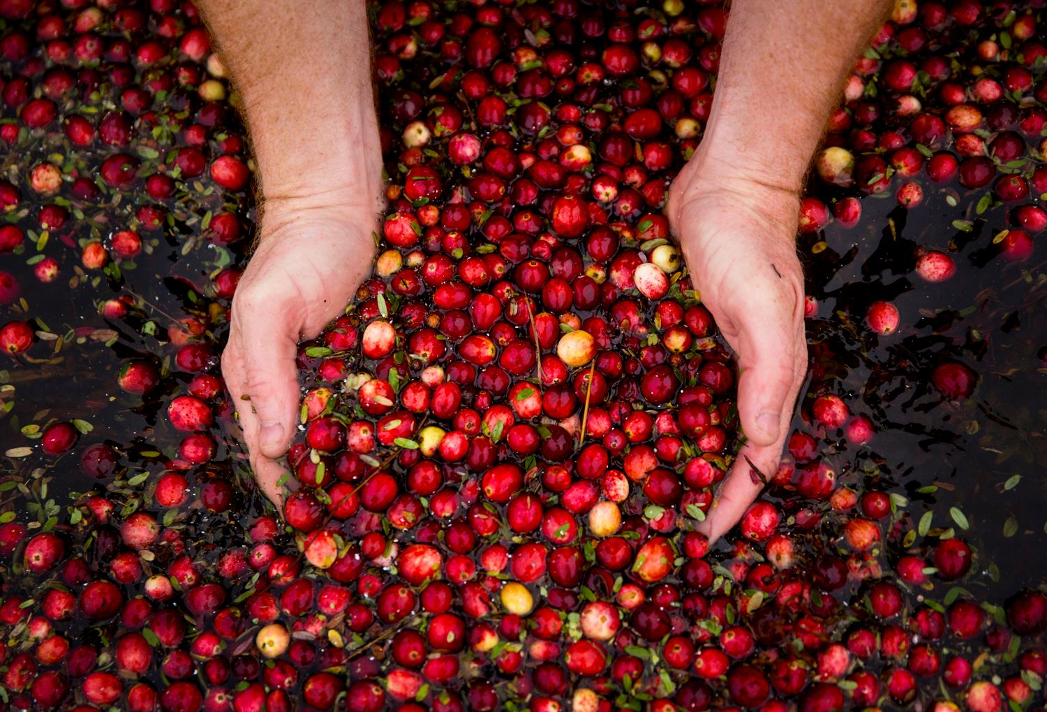 Brady Turner, co-owner of the restaurant Pickled Fish, scoops up a handful of organic cranberries during the annual harvest at Starvation Alley Farms in Long Beach. After harvesting, the cranberries will be sent off to be cleaned, then frozen, then later find their way into local restaurants, sauces, or pressed into 100 percent organic, unsweetened, and unpasteurized cranberry juice. (Sy Bean / Seattle Refined)