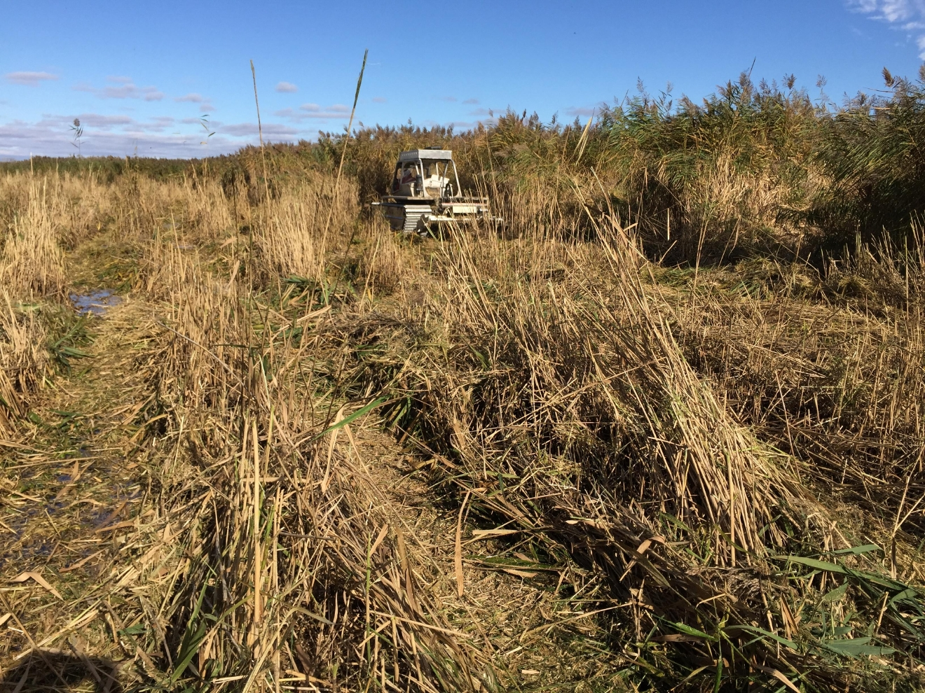 Phragmites being cut by Marsh Master all terrain vehicle in Green Bay, October 20, 2016 (WLUK/Eric Peterson)