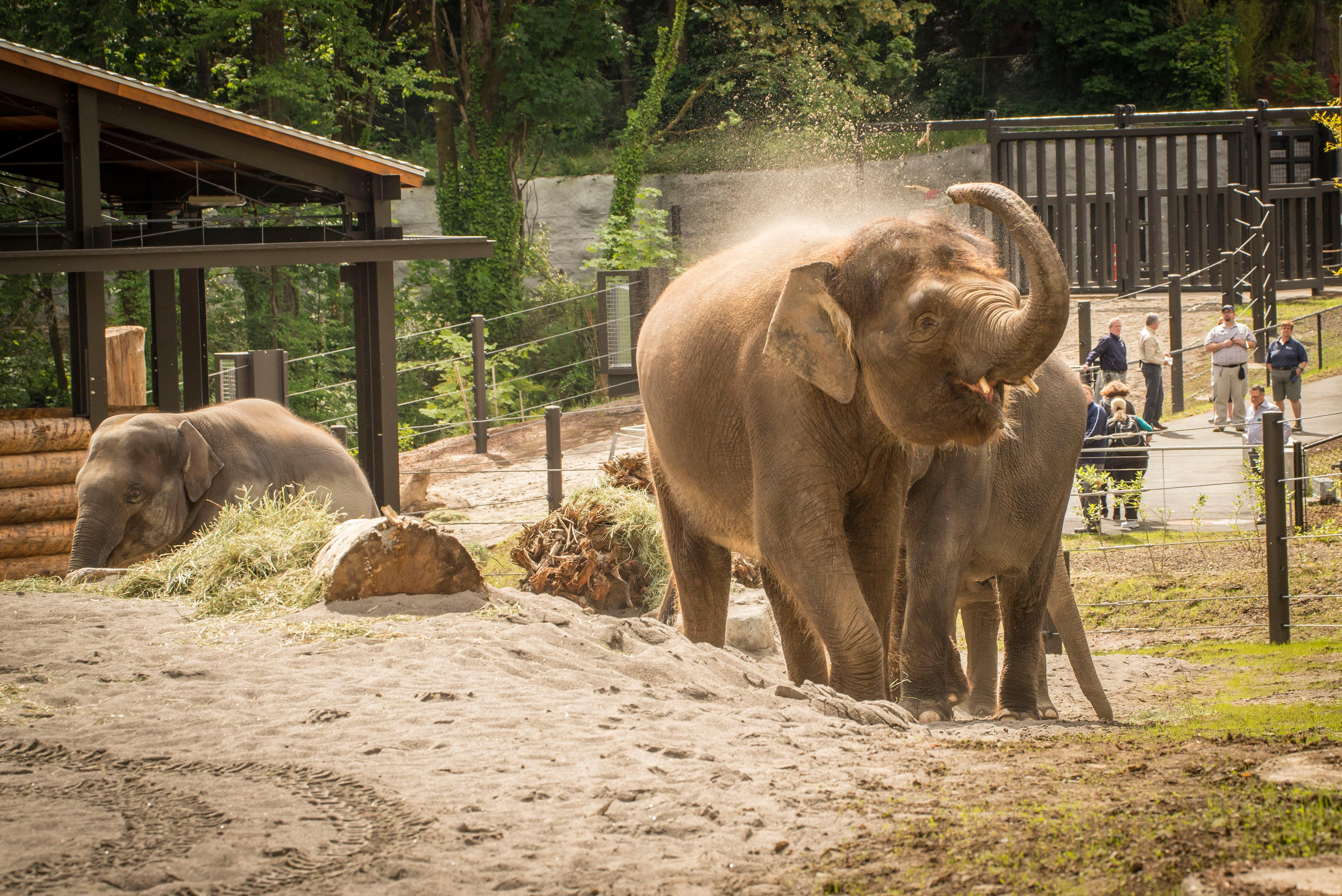 Asian elephants in the North Meadow habitat, part of Elephant Lands at the Oregon Zoo. �© Oregon Zoo / photo by Michael Durham.