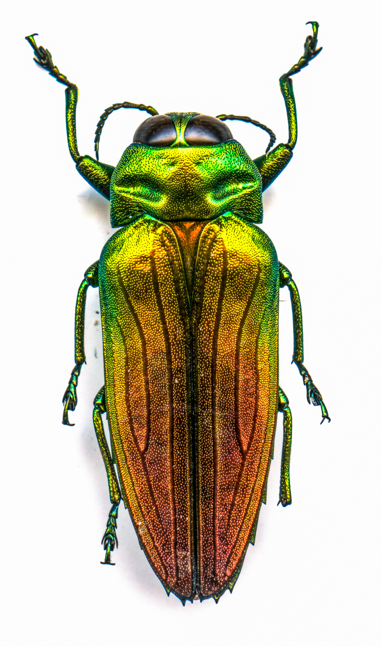 Fiery Jewel Beetle{ }/ Image: Catherine Viox // Published: 4.12.20