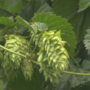 Yakima Valley hops chosen for royal wedding brew