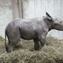 Black rhino calf born at the Cincinnati Zoo