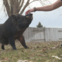 No hogwash: What you should know before buying a mini pig
