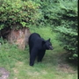 Big increase in bear sightings across the state